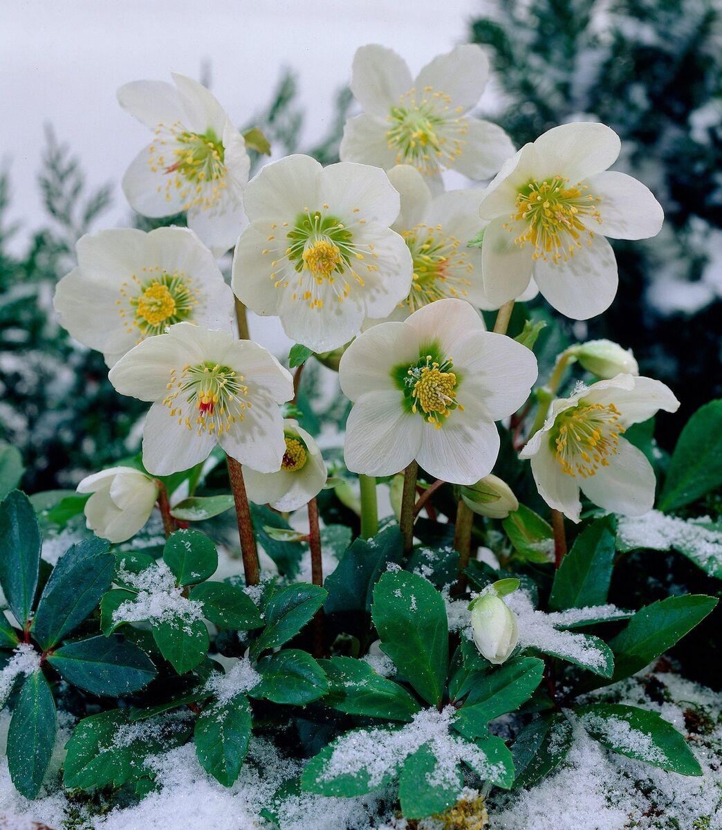 winterblume62