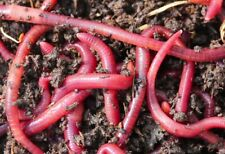 24 Big Red Wiggler Trout Worms - Live Fish Bait Lot of 24 Reptile Earthworm Food