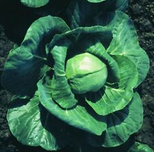Kings Seeds - Cabbage Candissa F1 - 100 Seeds