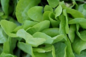 Super Growing Lettuce -USA Grown - 500 Seeds - Super Cheap