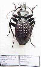 Carabus imabius stoliczkianus (male A1) from PAKISTAN (Carabidae)
