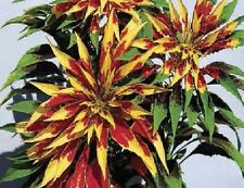 Flower - Amaranthus tricolour splendens perfecta - 50 Seed