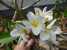 Plumeria - cream - live cutting - floral - home decor - tropical plants