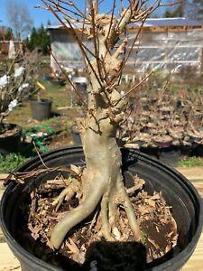 trident maple bonsai material