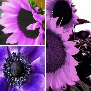 20pcs Purple GIANT SUNFLOWER -HELIANTHUS ANNUUS-20 FLOWER SEEDS-LARGE PACK L20