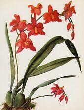 Vintage Orchid Red Flower Print Botanical Print Cochlioda Densiflora 2165