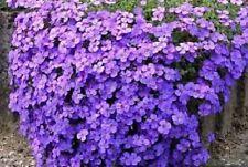 50+ AUBRIETA CASCADE PURPLE ROCK CRESS  / PERENNIAL DEER RESISTANT FLOWER SEEDS