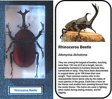 Real insects rhino beetle in crystal clear resin  information card on gift box