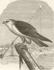 BIRDS. Black-winged kite 1895 old antique vintage print picture