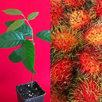 "Red Rambutan Nephelium Lappaceum Florida Plant Tree Seedling  7-12"""