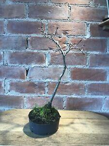 Beech Tree bonsai