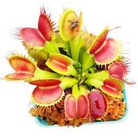 50 X Großhandel Venus Fly Trap Seeds Fleischfressende Pflanze Hausgarten Samen^