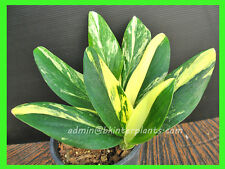 "New Philodendron ""Wishbone"" Yellow Variegated Very Rare+ Free Phyto @"