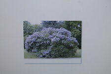 10 Graines Albizia Chinensis, Albizia Stipulata, Arbre A Soie, N°36