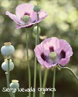 Giganteum Poppy Somniferum Seeds 1/2 gram=1000 seeds Organic .