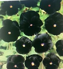 Viola Pansy Clear Crystals Black Flower Seeds