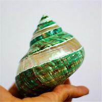 11cm Spiral Shell Green Turban Shells Glow In Dark DIY Home Ornament Decor