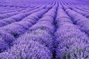"💜 10 Stück Lavendel Angustifolia  ,, Munstead "" Jungpflanzen Duftpflanzen 💜"