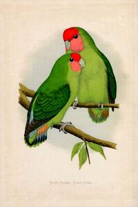 WT Greene Parrots in Captivity Rosyfaced Lovebird Wildlife Print