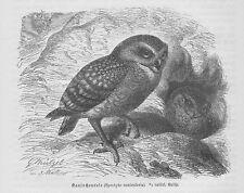 Kanincheneule Kaninchenkauz Athene cunicularia Holzstich von 1891 Eulen G. Mütze