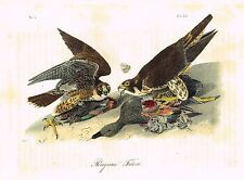 By Audubon Octavo Birds PEREGRINE FALCON Pl. 20  Hand Colored Lithograph 1849