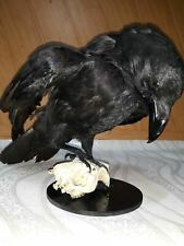 Stuffed raven on with skull Taxidermy Bird