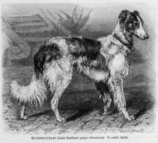 WOLFSWINDHUND Windhund Greyhound Canis familiaris grajus hibernicus  Stich 1891