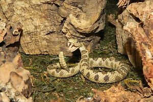 Rattlesnake Schleich Wild Life Animal Figurine Replica Diorama