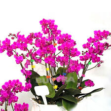 Hot Bonsai Plant Butterfly Orchid Seeds Mix-Color Phalaenopsis Flower CA FF