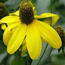 6 RUDBECKIA LACINIATA - GREEN-HEAD CONEFLOWER MEDIUM PLUG PLANTS - HARDY P