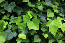 Ivy, ENGLISH IVY Vine Seeds (Hedera helix) EVERGREEN CLIMBER 30 Seeds GroCo USA