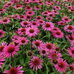 Echinacea purpurea 'Magnus' / Coneflower / Prairie Plant / Hardy / 100 Seeds