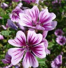 Seeds - Beautiful Flowers!! -75- Malva Zebrina Seeds
