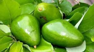 Avocado Tree Poncho Cold Hardy Variety- small starter as pictured
