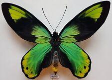 Ornithoptera victoriae epiphanes (Form: Alexisi) - Solomon islands