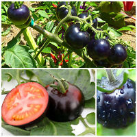 Black Tomato Seeds Fruit Seeds Vegetable Seeds Black Tomato Tree Tomato Seeds