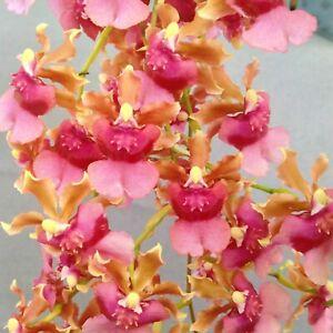 "Orchid live plant~oncidium Pacific Sunrise ""Hakalau""~SEEDLING size~Fragrant"