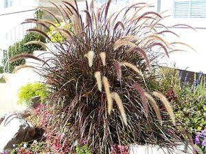 25 PURPLE FOUNTAIN GRASS Ornamental Pennisetum Dark Burgundy Flower Seeds + Gift