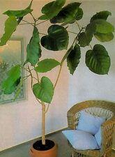 Ficus mit riesigen Blättern - verrückt - wächst auch im fast Dunkeln !