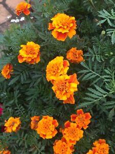 Mix Bag Orange Marigold Seed Beautiful Flower 100 Seeds