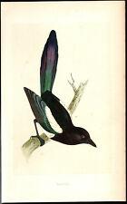 MAGPIE bird - original vintage 1866 Morris painted woodblock print