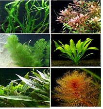 Aquarium Live Plant 10, 25 & 50 - mix bunch aquatic fish tank tropical coldwater