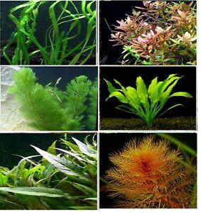 Aquarium Live Plant 10, 25 & 50 - mix bunch aquatic fish tank tropical coldwater