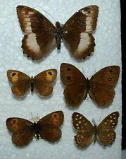 Satyridae  Mix  1 Europa