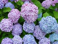 Perennial shrubs Flower tree seeds - Hydrangea hortensia large round flowerheads