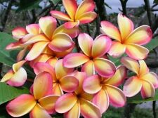 Rare Rainbow Plumeria one Cutting, peach yellow and white stripe. 8 to 12""