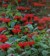 Bee Balm Red  Flower Seeds