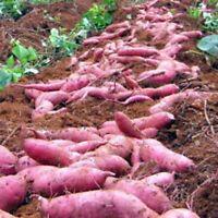 100stk Süßkartoffel Samen Garten Köstliche Frische Obst Gemüse Pflanzen Saatgut