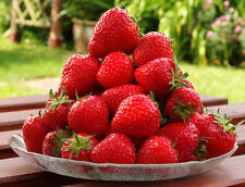 10 SEASCAPE EVER BEARING STRAWBERRY PLANTS - CERTIFIED HEALTHY BARE ROOT PLANTS
