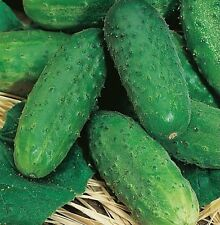 Seeds Cucumber Lyalyuk Mini Pickling Vegetable Organic Heirloom Russian Ukraine